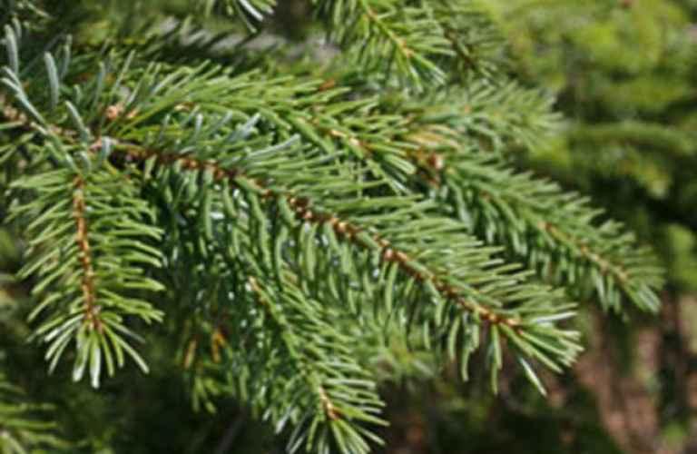 Rødgran (Picea Abies)